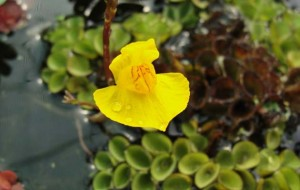 4.Utricularia