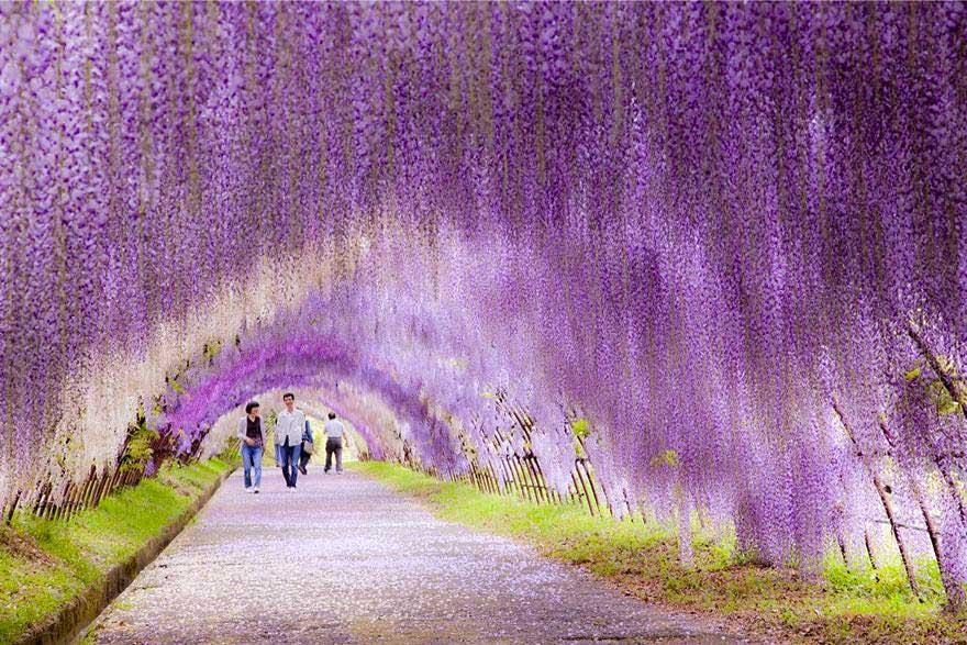 3_cvetni_tunel_visterija_japan