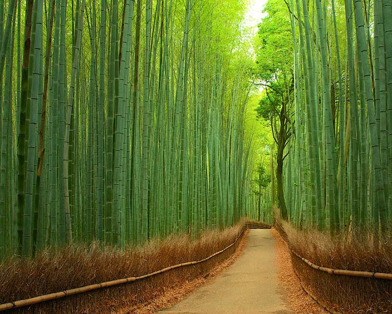 7_put_bambusa_u_kjotu