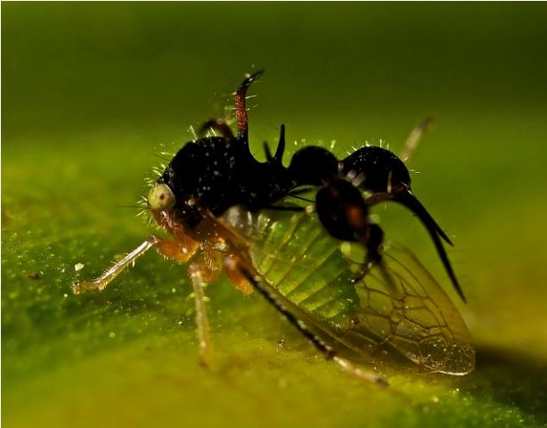 Cyphonia Clavata. Ovo čudo spada u red insekata i majstor je prerušavanja, jer na leđima nosi tvorevinu u obliku lažnog mrava, koji služi da zaštiti od grabljivica.