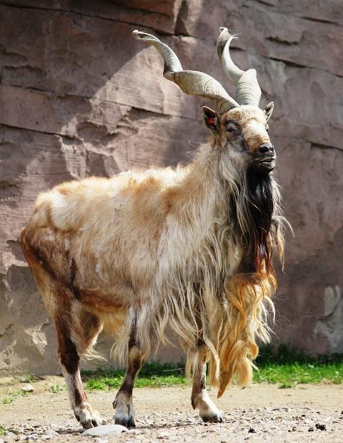 Vijoroga koza. Ova ugrožena vrsta naziva se još i himalajska koza. Proglašena je nacionalnom životinjom države Pakistan.