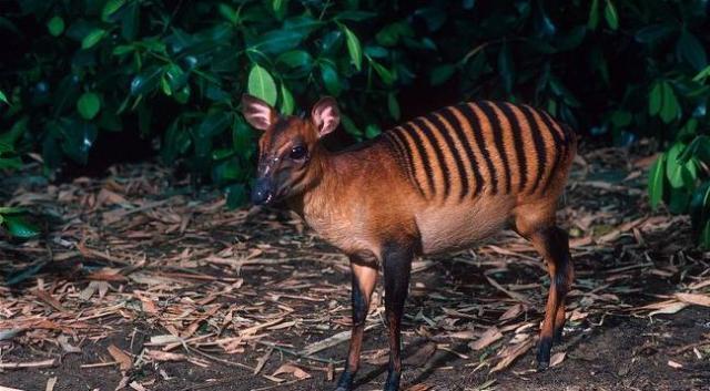 Zebrasti dujker. Nastanjuje Gvineju, Liberiju i Obalu Slonovače. Mužjacima rogovi rastu i do pet santimetara. Hrane se lišćem i voćem.