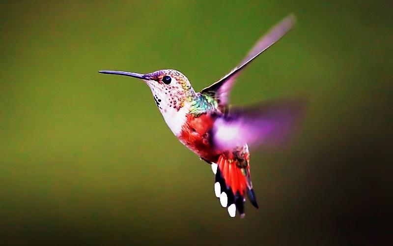 Kolibri