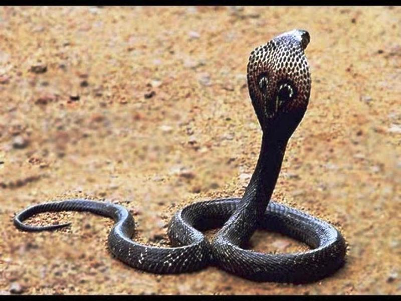 Kraljevska_kobra