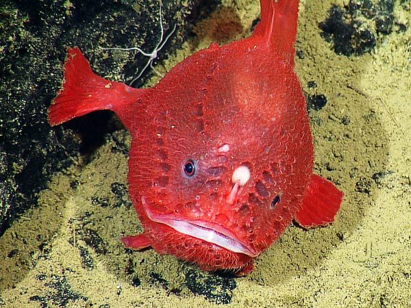 Little_Red_Coffinfish