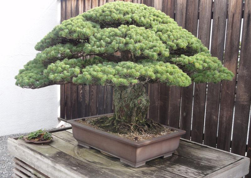 400_godina_staro_drvo
