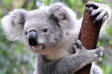 koala_naslovi