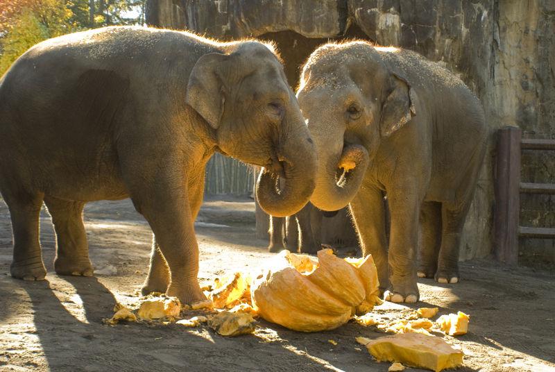 slonovi_jedu
