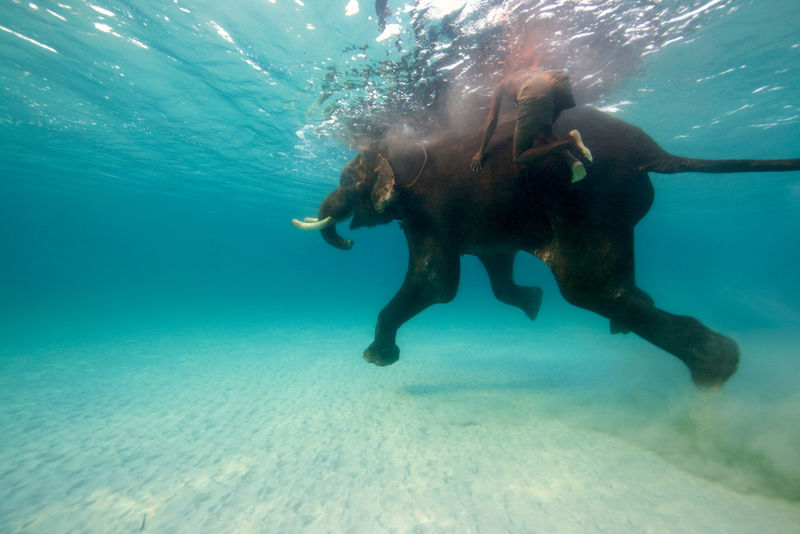 slonovi_odlicni_plivaci