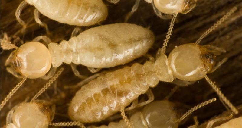 termiti_nisu_mravi