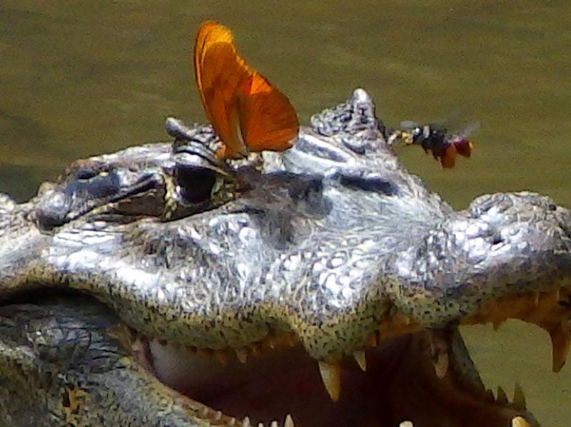 pcela_pije_krokodilske_suze