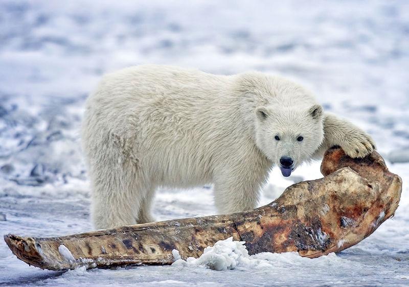 polarni_medved