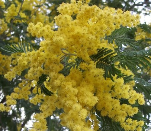 10-GOLDEN-MIMOSA-Acacia-Baileyana-Yellow-Wattle-Tree-Flower-Seeds-High-Germination-rate-Free-Shipping