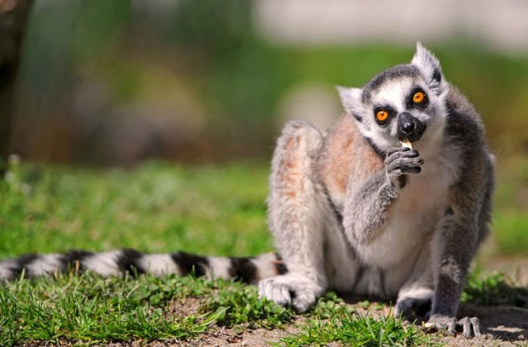 lemur_naslovna