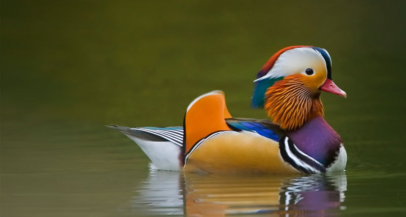 mandarinska-patka