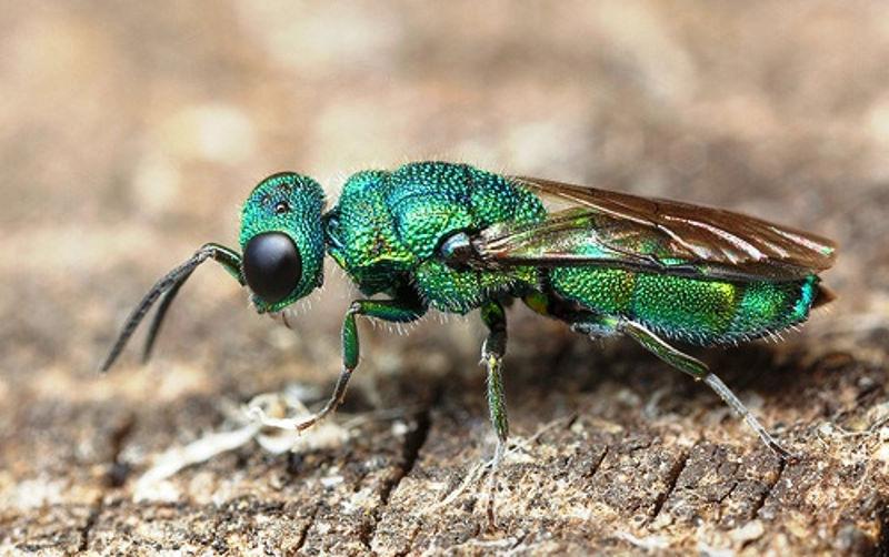 smaragdna-osa