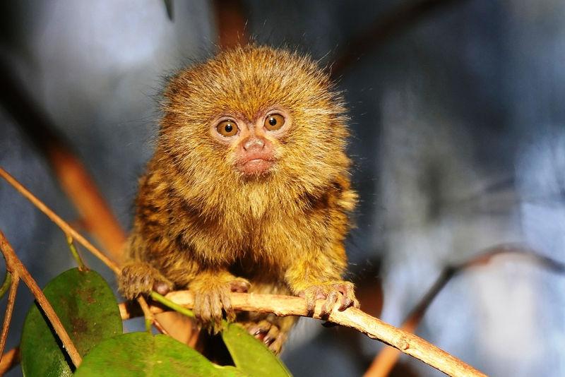 pigmejski_majmun