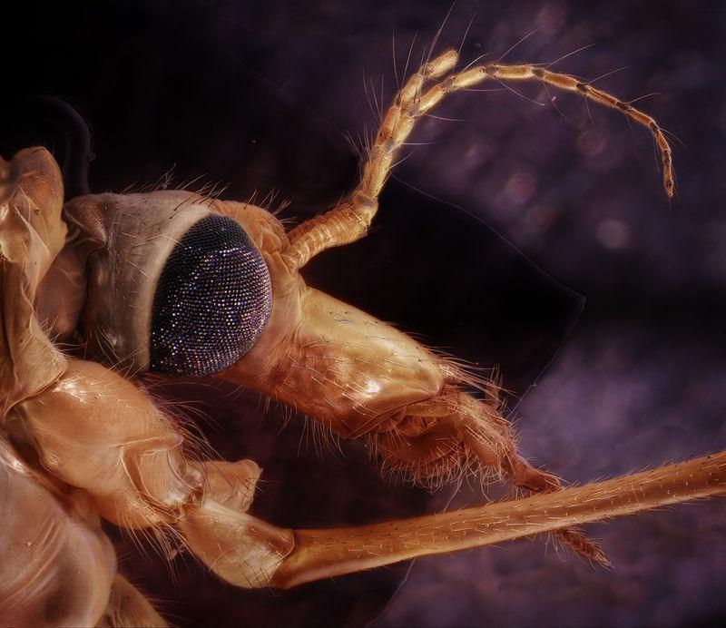 dugonogi_komarac