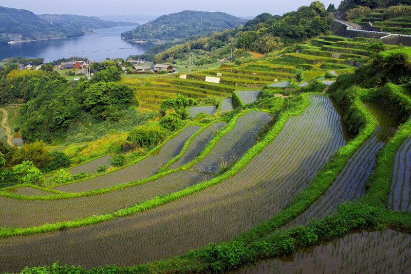 polja_pirinca