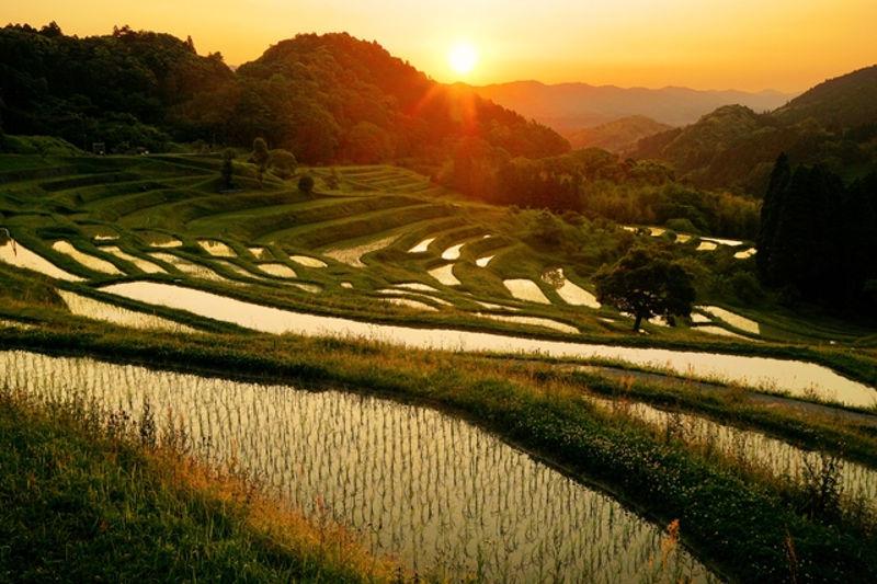 polja_pirinca_1