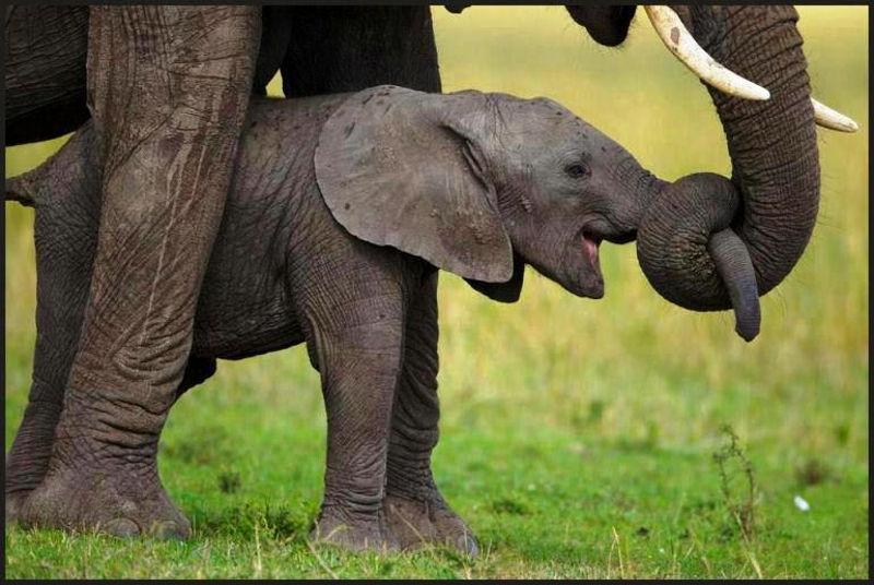 mali_slonovi_1