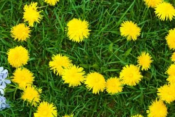 smiley-grass