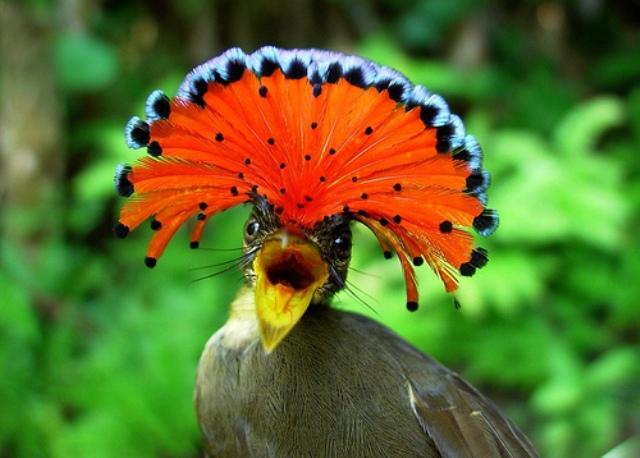 Amazonska kraljevska ptica. Prepoznaje se po upadljivo šarenom perju. Šiljati kljun koristi u lovu na insekte.