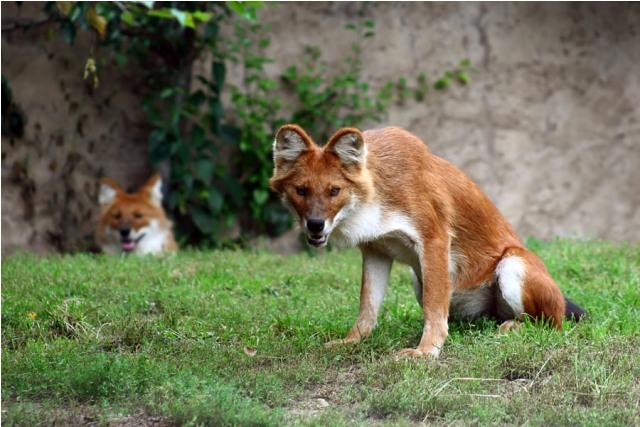 Azijski divlji pas. Nastanjuje prostor južne i jugoistočne Azije. Živi u čoporu, plaši se ljudi ali je dovoljno jak da napadne i ulovi divlju svinju, pa čak i tigra.
