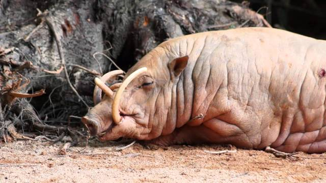 Babirusa. Može se pronaći u Indoneziji. To je sisar iz porodice svinja, poznat po uvijenim kljovama koje ako ne troši, mogu da porastu toliko da mu probiju lobanju.