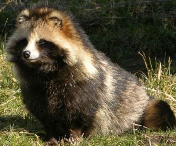 Tanuki. Zovu ga još i rakunoliki pas, zbog ogromne sličnosti sa njuškom rakuna. Naseljava prostor Vijetnama, Japana, Mongolije, Rusije i Severne Koreje.